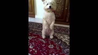 Clever dog سگ باهوش